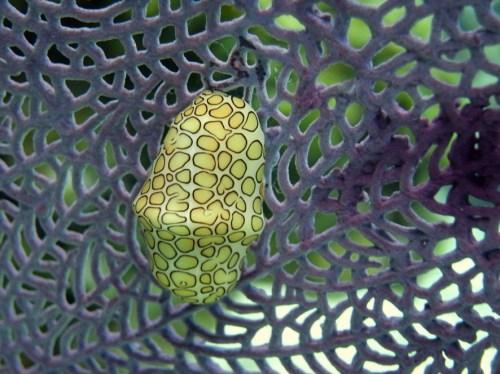 "A sea creature called a ""flamingo tongue"", interestingly enough!"
