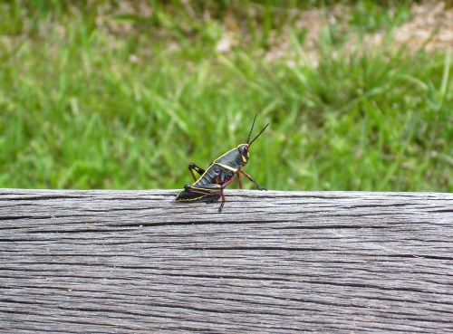Resident Lubber grasshopper in the Everglades in Florida