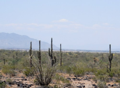Driving through the southwest United States you are sure to see the saguaro cactus