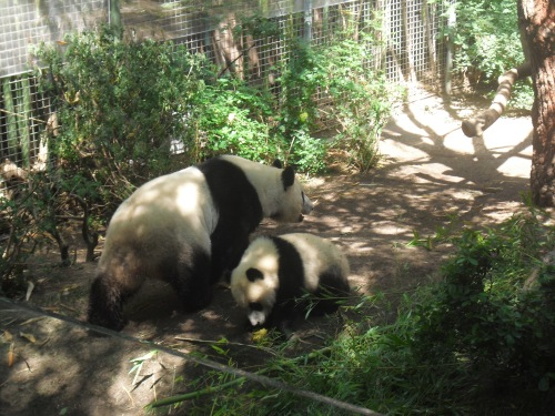 Mother and son.  Pandas at the San Diego Zoo