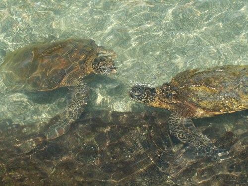 Sea turtles in Hawaii