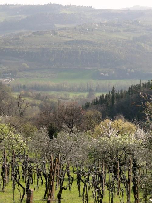 Olive tree fields in Tuscany, Italy