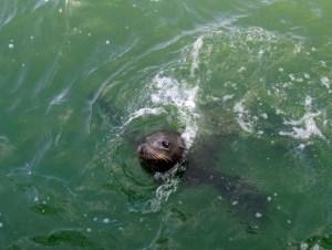 san diego sea lion image